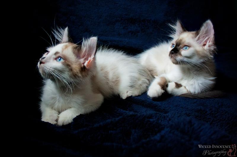 Rag Doll Kittens - Crash & Cocoa